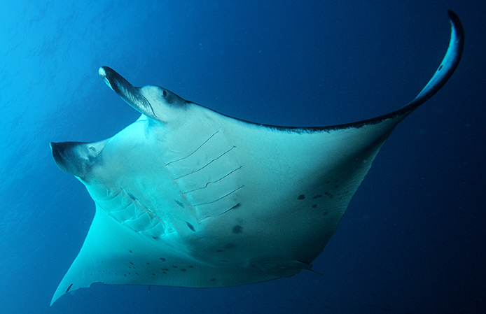 Manta Rays at Risk