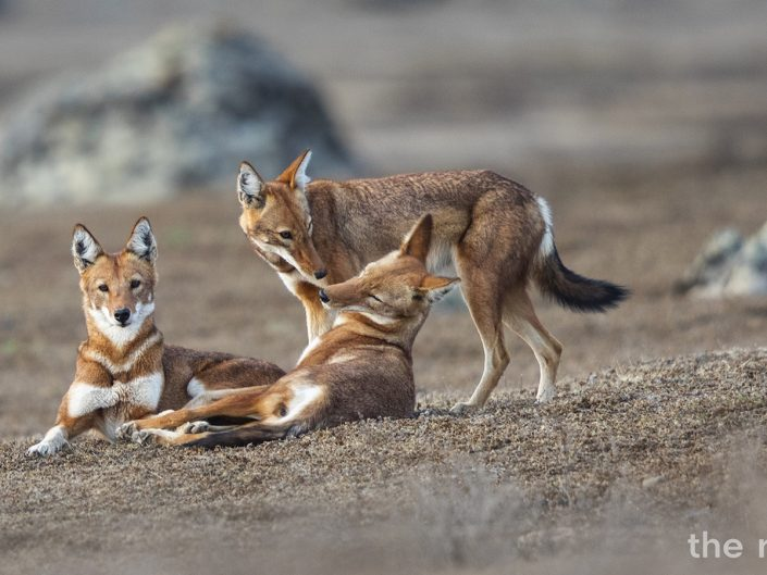 "The Red list ""Ethiopian Wolf"" Teaser"